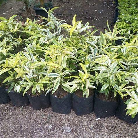 jual bambu dracaena golden  lapak teras tanaman terastanaman