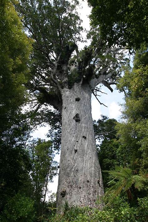 image gallery new zealand kauri trees