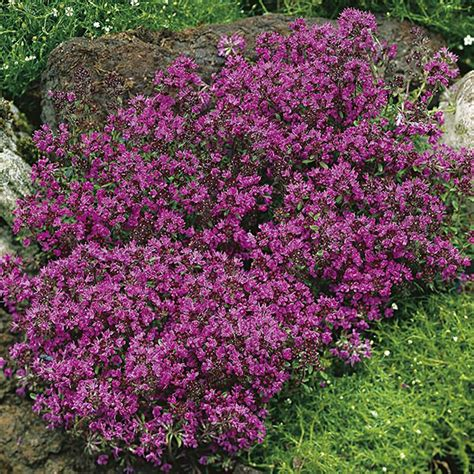 Bibit Benih Seeds Creeping Thyme For Ground Cover thymus thyme praecox creeping seeds from mr fothergill s seeds and plants