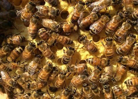 backyard beekeeping backyard beekeeping and its many benefits