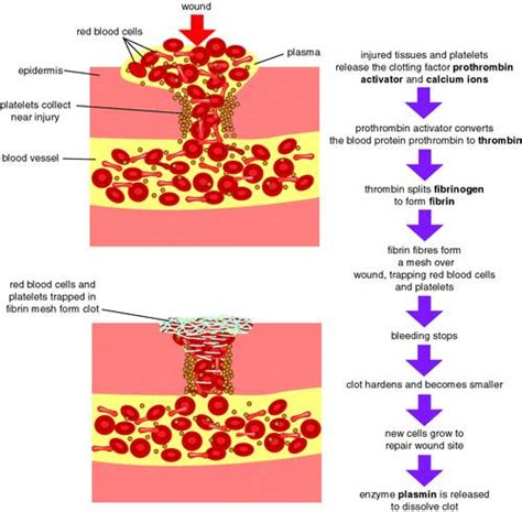 mechanism of blood clotting flowchart mozac biology department