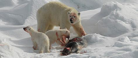Climate Change Polar Bears Change To Diet With Higher