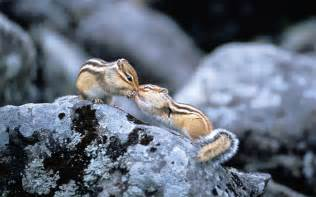 fond ecran bureau animal ecureuil duo sur un rocher