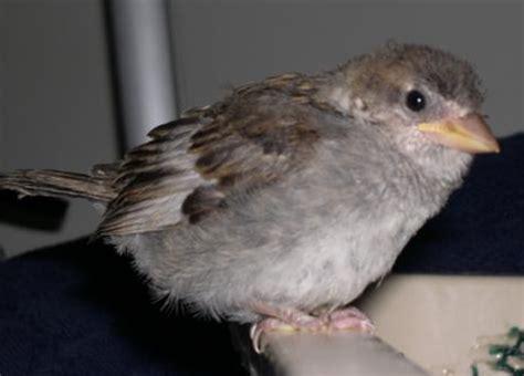 baby starling bird