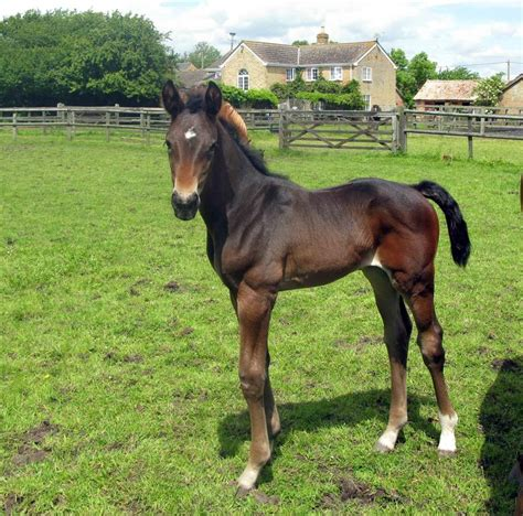 hanoverian horses for sale flammente sold 163 4 250