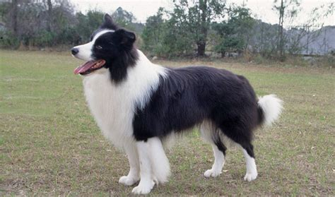 how to a border collie puppy border collie breed information