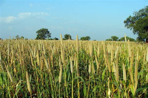 Benih Barley Impor importa 231 227 o de sementes de milheto tem norma
