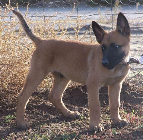 belgian malinois puppies file belgian malinois puppy jpg