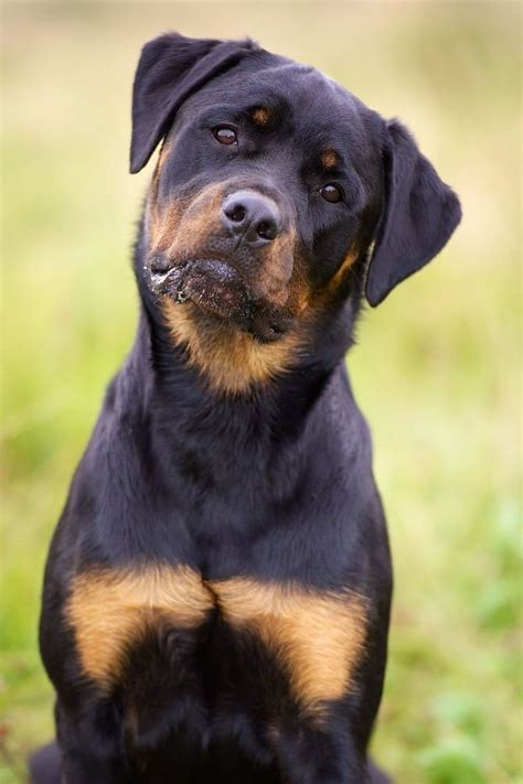 world rottweiler the oldest in the world rottweiler breeds picture