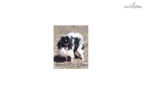 pomeranian tulsa pomeranian puppy for sale near tulsa oklahoma 7698313d 0b51