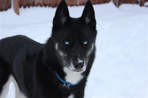 black husky puppy husky rescue sa coat colors of the siberian husky husky rescue sa