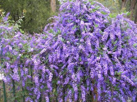 purple flowering shrubs australia hardenbergia edna walling wisteria for more