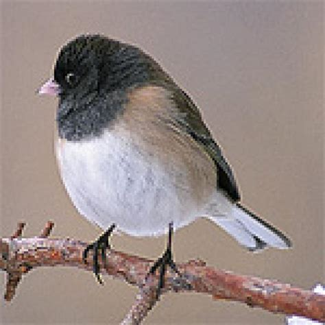 bird sounds and songs of the dark eyed junco the old