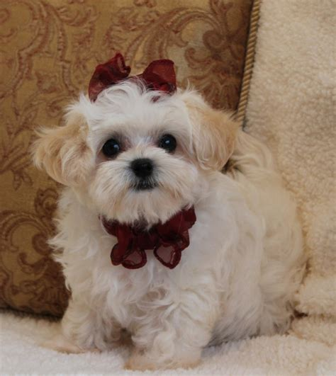 show me pictures of puppies image gallery small maltipoo
