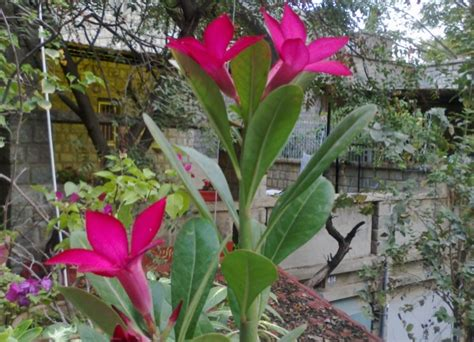 Pupuk Yang Cocok Untuk Bunga cara menanam bunga kamboja jepang adenium bibitbunga