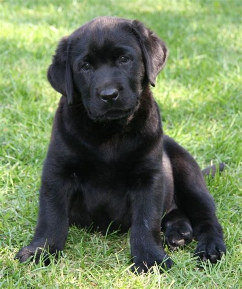 black lab golden retriever mix puppies golden retriever black lab mix puppy photos animals lab mix puppies