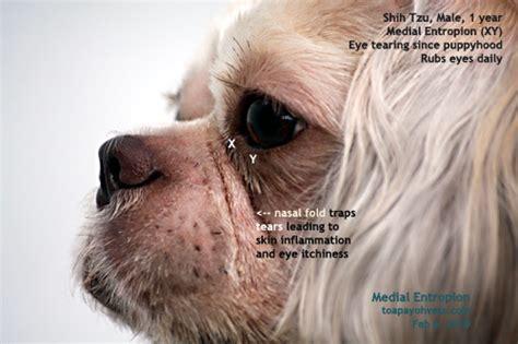 how does a shih tzu live 1221singapore veterinary education shih tzu corneal injuries eye ulcer