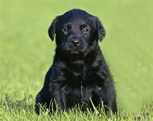 Pics photos black labrador retriever dog names