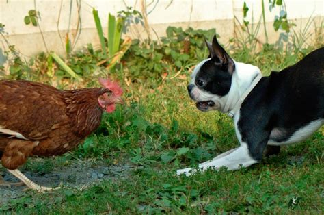 dogs chicken chicken vs boston terrier the