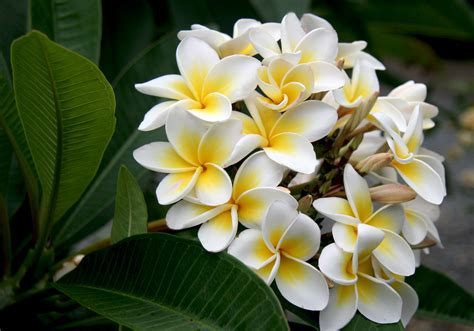 best flowers in the world flowers from hawaii top 10 most beautiful flowers in the world mill door makes