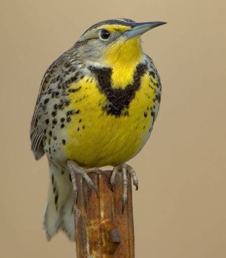 meadowlark10 western meadowlark oregon state bird bird