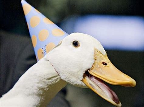 google images ducks 10 best images about clothing for ducks on pinterest