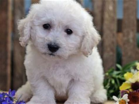 bichon frise puppies for sale in pa bichon frise puppies for sale