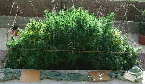 poda marihuana interior cultivo de marihuana exterior gu 237 a de cultivo de marihuana