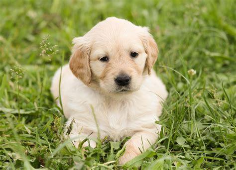 green puppy golden retriever golden retriever puppy on the green grass free image
