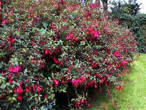hardy flowering evergreen shrubs types 18 zone 5 bushes wallpaper cool hd