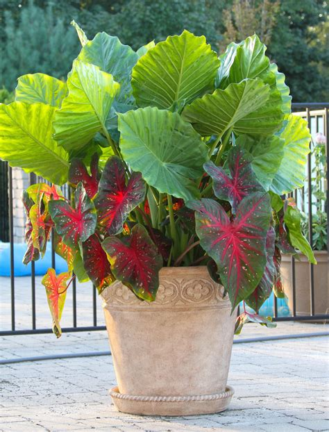 elephant ears late summer fireworks for pots and planters longfield gardens
