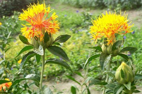fiore commestibile il cartamo o zafferanone un fiore commestibile