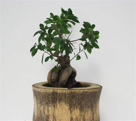 Ficus Benjamin Come Curarlo by Bonsai Ficus Ginseng Come Curarlo Esposizione