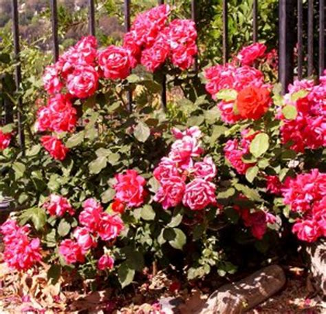 how to care for miniature roses