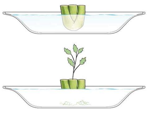 come si coltiva il sedano il sedano in vaso si coltiva partendo dallo scarto cose