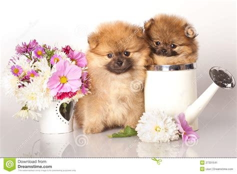 puppies and flowers spitz puppies and flowers stock image image 27331541