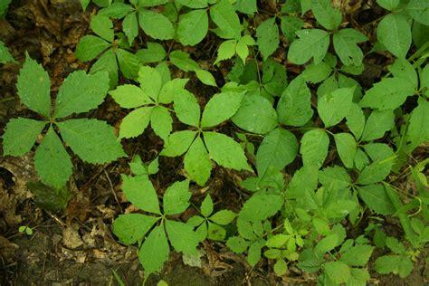 identify poison ivy leaves stinchfield woods caretaker s blog i spy poison ivy