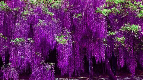 wisteria meaning wisteria wallpapers wallpaper cave