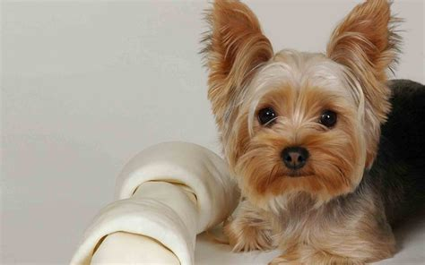 yorkie dogs meet the breed terrier