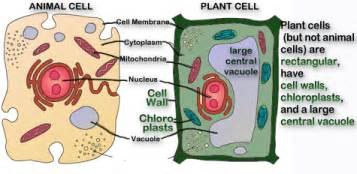 Pics photos plant cell and animal cell animal cell model diagram