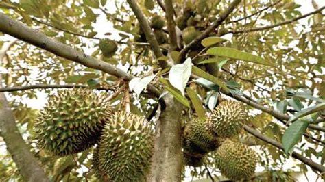Bibit Durian Musang King Pontianak pencuri durian jatuh dari pohon durian tribunnews