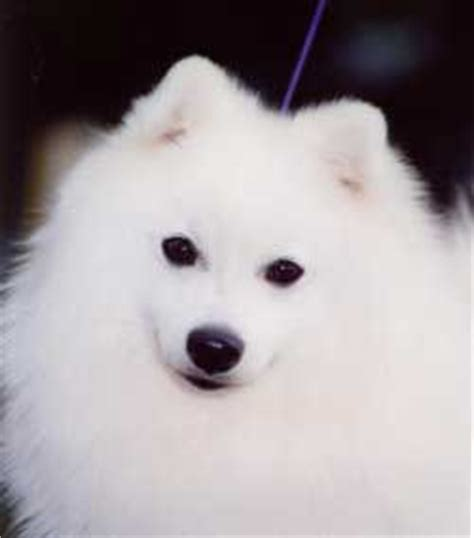 japanese spitz puppies for sale 301 moved permanently