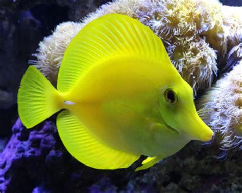 Termometer Ruangan Berbentuk Ikan Promo yelllow tang zebrasoma flavescens orca aquamarine