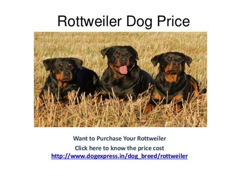 rottweiler dogtime rottweiler breed information dogexpress