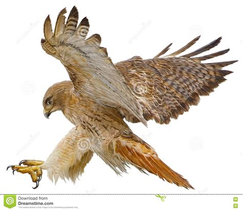 hawks colors hawk clipart tailed hawk pencil and in color hawk