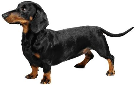 dachshund breed information pictures characteristics