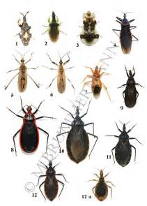 What Does A Bed Bug Bite Look Like Arizona Beetles Bugs Birds And More Kissing Bug Or Not