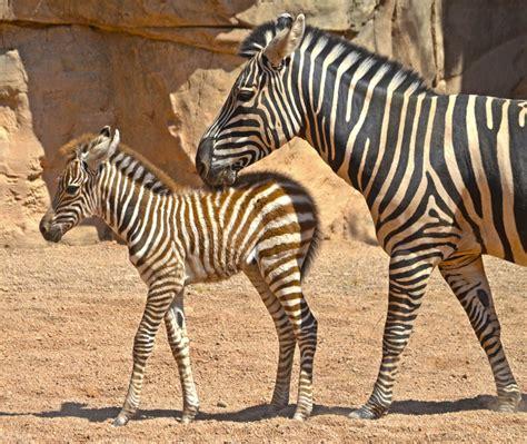 imagenes de animales cebra bioparc amanece con una cr 237 a de cebra reci 233 n nacida