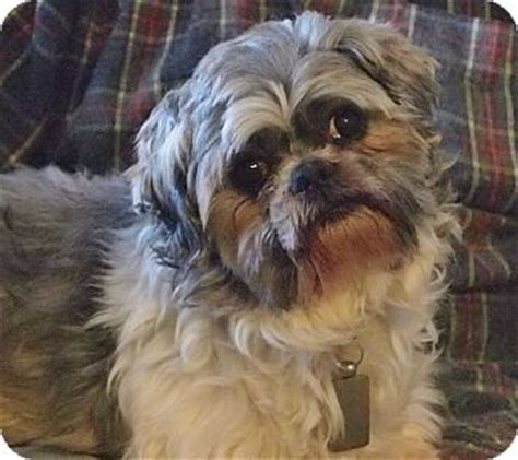 dogs for adoption in iowa prole ia shih tzu meet butch a for adoption