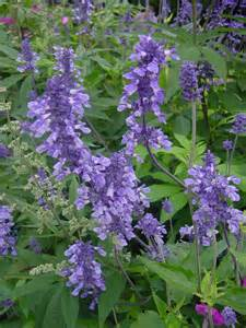 salvia flower plant answers